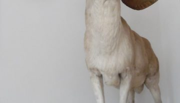 Lebensgroßes riesiges XXL Tierpräparat 1,95m Jagdtrophäe Marco Polo Schaf UNIKAT