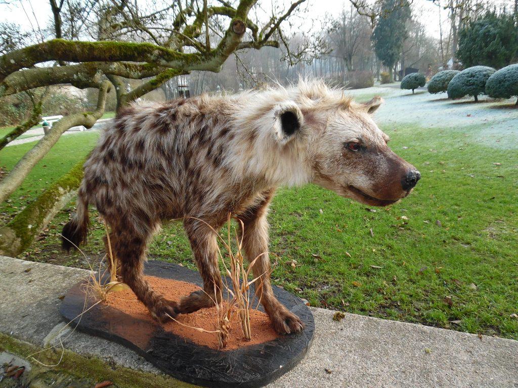 Große riesige XXL Tüpfel-Hyäne Hyaena Jagdtrophäe Ganz Tier Präparat