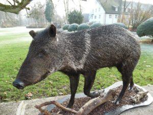 Großes XXL amerikanisches PEKARI Schwein Nabel- Wildschwein Präparat Jagdtrophäe