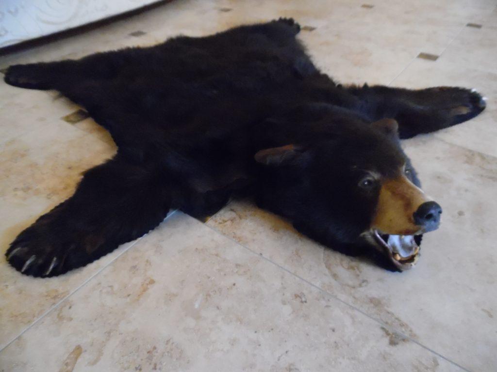 Großer riesiger XXL 1,60m Schwarzbär Bär Jagdtrophäe Tier Präparat Vorleger